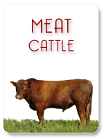 Meat Cattle